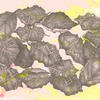 'Beech Leaves' 2020 Pencil drawing on marbled paper by Emma J Williams