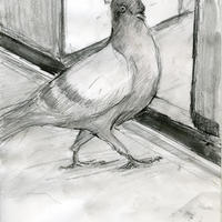 A drawing of a Pigeon for a poem by Jean Kenward - Pencil A4 Traveller
