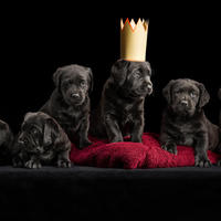 Black Labrador litter with flowers and spider - Puppies