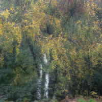 Silver Birch and autumn colours
